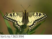 Купить «Бабочка», фото № 363994, снято 4 августа 2006 г. (c) Анатолий Никитин / Фотобанк Лори