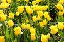 Жёлтые тюльпаны, эксклюзивное фото № 364762, снято 24 апреля 2008 г. (c) Дмитрий Неумоин / Фотобанк Лори