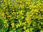 Вербейник (Lysimachia), эксклюзивное фото № 365014, снято 13 июля 2008 г. (c) lana1501 / Фотобанк Лори