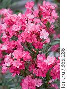 Купить «Розовый олеандр (лат. Nerium oleander)», фото № 365286, снято 10 мая 2008 г. (c) Галина Лукьяненко / Фотобанк Лори