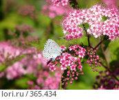 Купить «Бабочка  на  цветке», фото № 365434, снято 12 июля 2008 г. (c) елена бурова / Фотобанк Лори