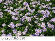 Купить «Сиреневые цветы на зеленой траве», фото № 365590, снято 2 июля 2006 г. (c) Елена Ликина / Фотобанк Лори