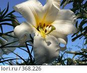 Белая лилия. Стоковое фото, фотограф Дружинин Александр / Фотобанк Лори
