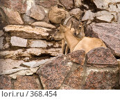 Купить «Западный кавказский горный козел (Capra cylindricornis)», фото № 368454, снято 3 июля 2008 г. (c) Михаил Крекин / Фотобанк Лори