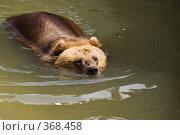 Купить «Плывущий бурый медведь (Ursus arctos)», фото № 368458, снято 3 июля 2008 г. (c) Михаил Крекин / Фотобанк Лори