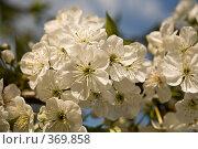 Цвет вишни. Стоковое фото, фотограф Сергей Бондарук / Фотобанк Лори