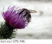 Купить «Пчела на цветке репейника», фото № 370746, снято 5 августа 2007 г. (c) sav / Фотобанк Лори