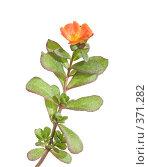 Купить «Оранжевый портулак (дандур), изолированное изображение», фото № 371282, снято 24 июля 2008 г. (c) Tamara Kulikova / Фотобанк Лори