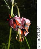 Купить «Лилия кудреватая и бабочки на ней», фото № 371354, снято 30 июня 2004 г. (c) Павел Мурадов / Фотобанк Лори
