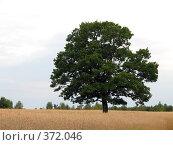 Купить «Одинокий дуб», фото № 372046, снято 18 июля 2008 г. (c) Мещенко Олег / Фотобанк Лори