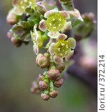 Купить «Красная смородина (цветы)», фото № 372214, снято 1 мая 2008 г. (c) Андрей Некрасов / Фотобанк Лори