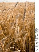 Купить «Злаковые культуры», фото № 372490, снято 2 июля 2008 г. (c) Воробьева Анна / Фотобанк Лори