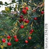 Купить «Ветка вишни», фото № 374078, снято 26 июля 2008 г. (c) Zemlyanski Alexei / Фотобанк Лори