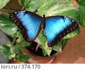 Купить «Большая синяя бабочка», фото № 374170, снято 25 июня 2008 г. (c) Софья Ханджи / Фотобанк Лори