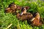 Утки отдыхают на травке, фото № 376578, снято 24 июля 2008 г. (c) Виталий Романович / Фотобанк Лори