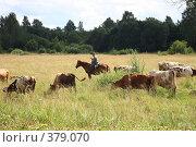 Купить «Коровы», фото № 379070, снято 21 июля 2008 г. (c) sav / Фотобанк Лори