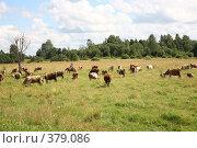 Купить «Коровы», фото № 379086, снято 21 июля 2008 г. (c) sav / Фотобанк Лори