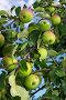 Ветка яблони: сорт Северный синап. Подмосковье, начало августа, фото № 381834, снято 1 августа 2008 г. (c) ZitsArt / Фотобанк Лори