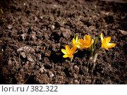 Купить «Крокусы желтые», фото № 382322, снято 3 апреля 2008 г. (c) Ekaterina Chernenkova / Фотобанк Лори