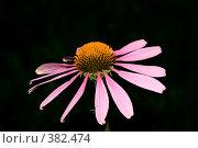 Купить «Цветок эхинацеи», фото № 382474, снято 26 июля 2008 г. (c) Tyurina Ekaterina / Фотобанк Лори