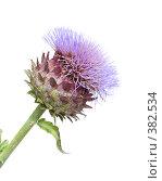 Купить «Цветок артишока Cynara cardunculus», фото № 382534, снято 2 августа 2008 г. (c) Tamara Kulikova / Фотобанк Лори