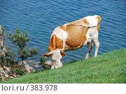 Купить «Корова на склоне горы», фото № 383978, снято 16 сентября 2019 г. (c) Estet / Фотобанк Лори