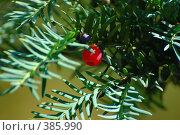 Купить «Тис ягодный», фото № 385990, снято 4 сентября 2007 г. (c) Игорь Архипов / Фотобанк Лори