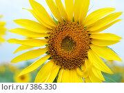 Купить «Подсолнух», фото № 386330, снято 21 июля 2008 г. (c) Александр Катайцев / Фотобанк Лори