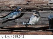 Купить «Птенцы ласточек», фото № 388542, снято 28 июля 2008 г. (c) Нестерова Анна / Фотобанк Лори