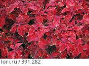 Купить «Красные листья, фон», фото № 391282, снято 7 августа 2008 г. (c) Tyurina Ekaterina / Фотобанк Лори