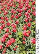 Купить «Поле красных тюльпанов», фото № 395822, снято 26 мая 2008 г. (c) Лилия Барладян / Фотобанк Лори