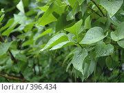 Купить «Капли дождя на листве», фото № 396434, снято 11 июля 2008 г. (c) uioio / Фотобанк Лори