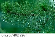 Мокрая ветвь сосны, фото № 402926, снято 27 июля 2008 г. (c) Диана Должикова / Фотобанк Лори