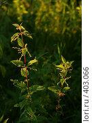Купить «Крапива, освещённая солнечным светом», фото № 403066, снято 14 августа 2008 г. (c) Татьяна Заварина / Фотобанк Лори