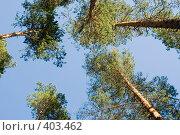 Купить «Карельские сосны. Кроны на фоне синего неба.», эксклюзивное фото № 403462, снято 26 июля 2008 г. (c) Александр Щепин / Фотобанк Лори
