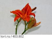 Купить «Красная лилия на светлом фоне», фото № 403802, снято 23 мая 2018 г. (c) Сергей  Ушаков / Фотобанк Лори