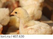 Купить «Цыпленок», фото № 407630, снято 17 августа 2008 г. (c) Алексей Ефимов / Фотобанк Лори