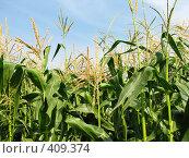 Купить «Кукурузное поле», фото № 409374, снято 17 августа 2008 г. (c) Евгений Одеров / Фотобанк Лори