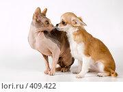 Купить «Щенок чихуахуа с канадским сфинксом», фото № 409422, снято 31 июля 2008 г. (c) Vladimir Suponev / Фотобанк Лори