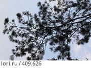 Хвойная ветка на фоне неба. Стоковое фото, фотограф Svetlana V Bojan / Фотобанк Лори