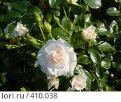Купить «Белая кустовая роза с бутонами», фото № 410038, снято 25 июля 2008 г. (c) Комиссарова Ольга / Фотобанк Лори
