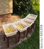 Купить «Сушка яблок для компота», эксклюзивное фото № 410074, снято 17 августа 2008 г. (c) Владимир Чинин / Фотобанк Лори
