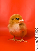 Купить «Один удивленный цыпленок на красном фоне», фото № 414006, снято 19 апреля 2007 г. (c) Василий Вишневский / Фотобанк Лори
