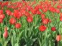 Клумба из красных тюльпанов, фото № 414798, снято 30 апреля 2008 г. (c) Елена Завитаева / Фотобанк Лори