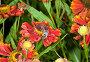 Пчела на красных цветах The Bee collecting pollen on a flower, фото № 418666, снято 29 апреля 2017 г. (c) Парушин Евгений / Фотобанк Лори
