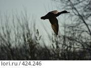 Купить «Силуэт кряквы в полете», фото № 424246, снято 30 марта 2007 г. (c) Василий Вишневский / Фотобанк Лори