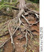 Купить «Валаамские сосны, корни», фото № 425210, снято 6 августа 2008 г. (c) Морковкин Терентий / Фотобанк Лори