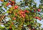 Сливовое дерево, фото № 425922, снято 13 июля 2008 г. (c) Анна Мегеря / Фотобанк Лори