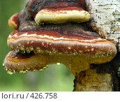 Купить «Янтарные слезы древесного гриба», фото № 426758, снято 13 июня 2008 г. (c) Олег Рыбаков / Фотобанк Лори