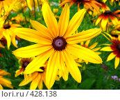 Купить «Цветок Рудбекия глянцевитая», фото № 428138, снято 26 июля 2008 г. (c) Андрей / Фотобанк Лори
